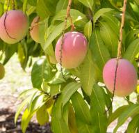 O poder da folhas da mangueira